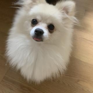 ホワイトポメラニアン 幼犬 多頭飼い不可