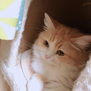 ふわふわの長毛★気高い美猫きなこ姫