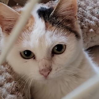 お耳と尻尾以外は白い三毛のみるく、約5ヶ月