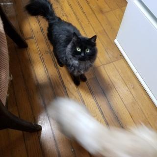 もふもふ鍵尻尾の黒猫くん 写真更新しました。