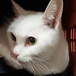 【飼い主引き取り】人懐っこい老白猫