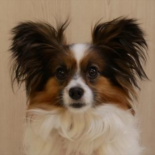 保護犬ナンバーD1350 パピヨン