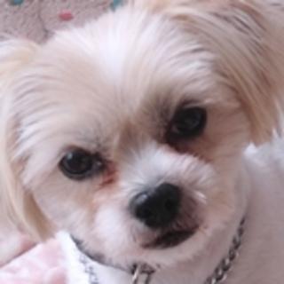 保護犬ナンバーD1342 シーズーミックス