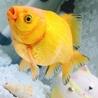 特殊な金魚 黄金玉 琉金約12㎝