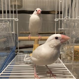 手のり白文鳥成鳥1羽、中雛1羽里親様募集致します。