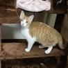 保護子猫茶白トラちゃん
