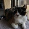 オトコマエな三毛猫 サムネイル2