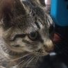 元気いっぱいキジトラ子猫です