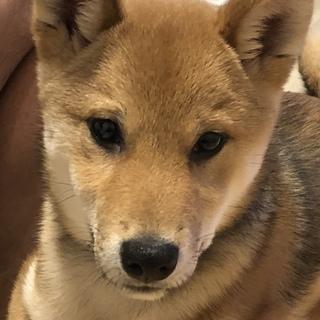 柴犬の子犬 5ヶ月