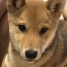 柴犬5ヶ月です