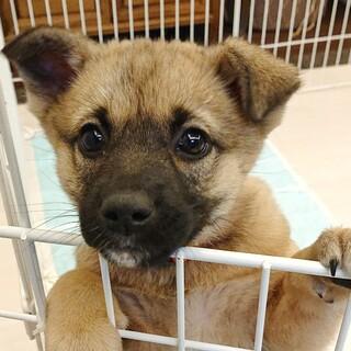 ルル☆おひざ大好き♡柴犬系雑種♀2か月半