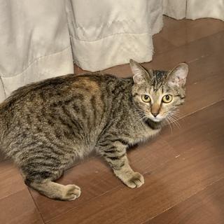美猫さん!キジサビのラビちゃん