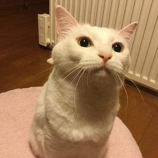 白猫の女の子(8歳)です。