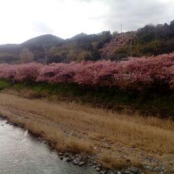 アンジーと桜