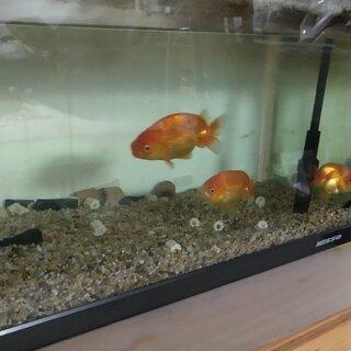 可愛い金魚