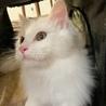モコモコの白猫♂