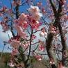 早咲き桜 満開です!