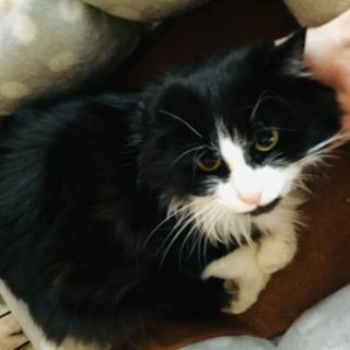 ♪黒白ハチワレ半長毛の美人猫です♀