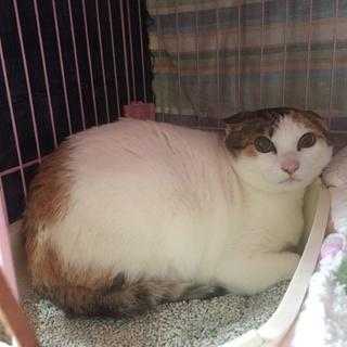 お目目まんまる賢い三毛猫さん、人慣れ修行中