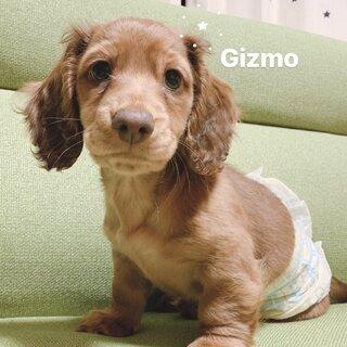 Gizmoくん