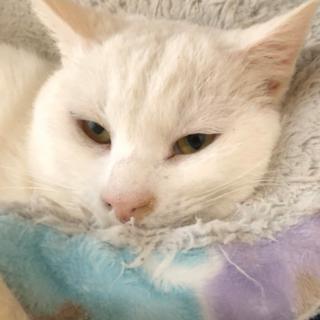 可愛い白猫ちゃん♂3才♡