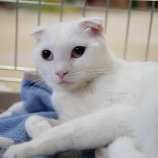 スコmix白猫(折れ耳) 困り顔のスリスリにゃんこ