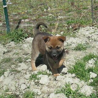 人が大好き・人なつこい生後2ヶ月弱めす子犬