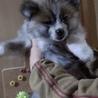 生後2か月の秋田犬 長毛虎毛の男の子です。