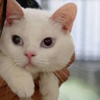 スコmix白猫 ♂ 明るく元気で甘えん坊