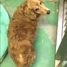 長毛ダックスフンド高齢犬オス172 サムネイル3