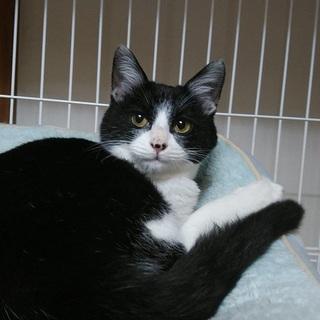 黒白約5か月、人馴れ猫馴れしています