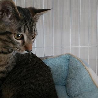 キジトラ約5か月、人馴れ猫馴れしています