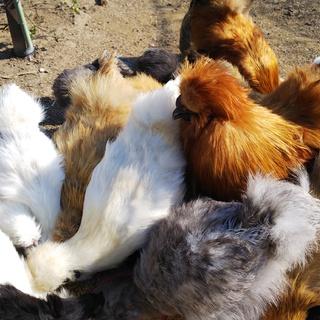 シルキー (烏骨鶏)やアローカナの雄♂ 里親募集