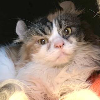 ふわふわ長毛三毛猫のカロンちゃん