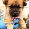 個体番号:20-M75 可愛い仔犬です。