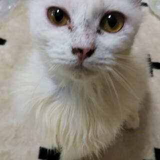 白猫姉妹 ②