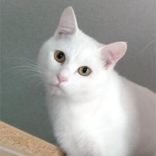 人が大好き!甘えん坊の白猫★白玉(1歳・千葉)
