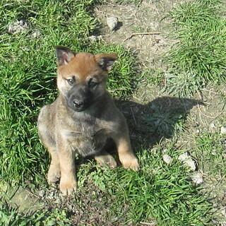 お問い合せを頂きました・生後2ヶ月頃めす子犬