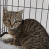 子猫 キジトラ 生後3ヶ月くらい 2月27日保護