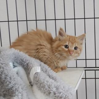 子猫 毛長で短い尻尾 2月27日に保護