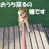 穏やか従順、可愛い柴犬ちゃん サムネイル3