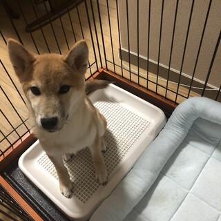 9月生まれの子犬柴犬