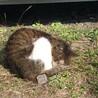 大人しいキジ白の猫ちゃんです