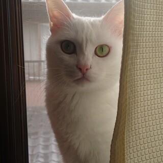 真っ白でクールな美猫ちゃんです
