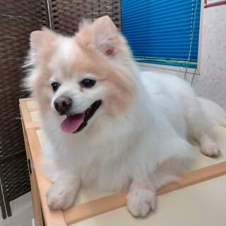 ポメ&チワワのmix犬、里親さん探しています