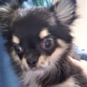 チワワの子犬メッシュちゃん♀4ヶ月