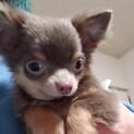 チワワの子犬さんまちゃん♂4ヶ月