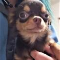 チワワの子犬つくねちゃん♂4ヶ月