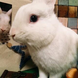 ミニウサギ×ホワイト2歳