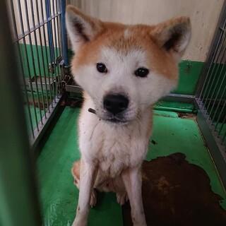 【監査】繋がります!同じ場所から保護された秋田犬①